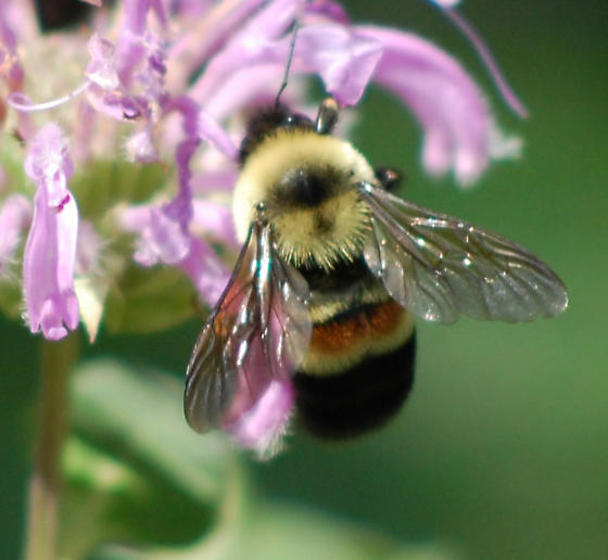 Rusted Patch Bumblebee (Bombus affinis)