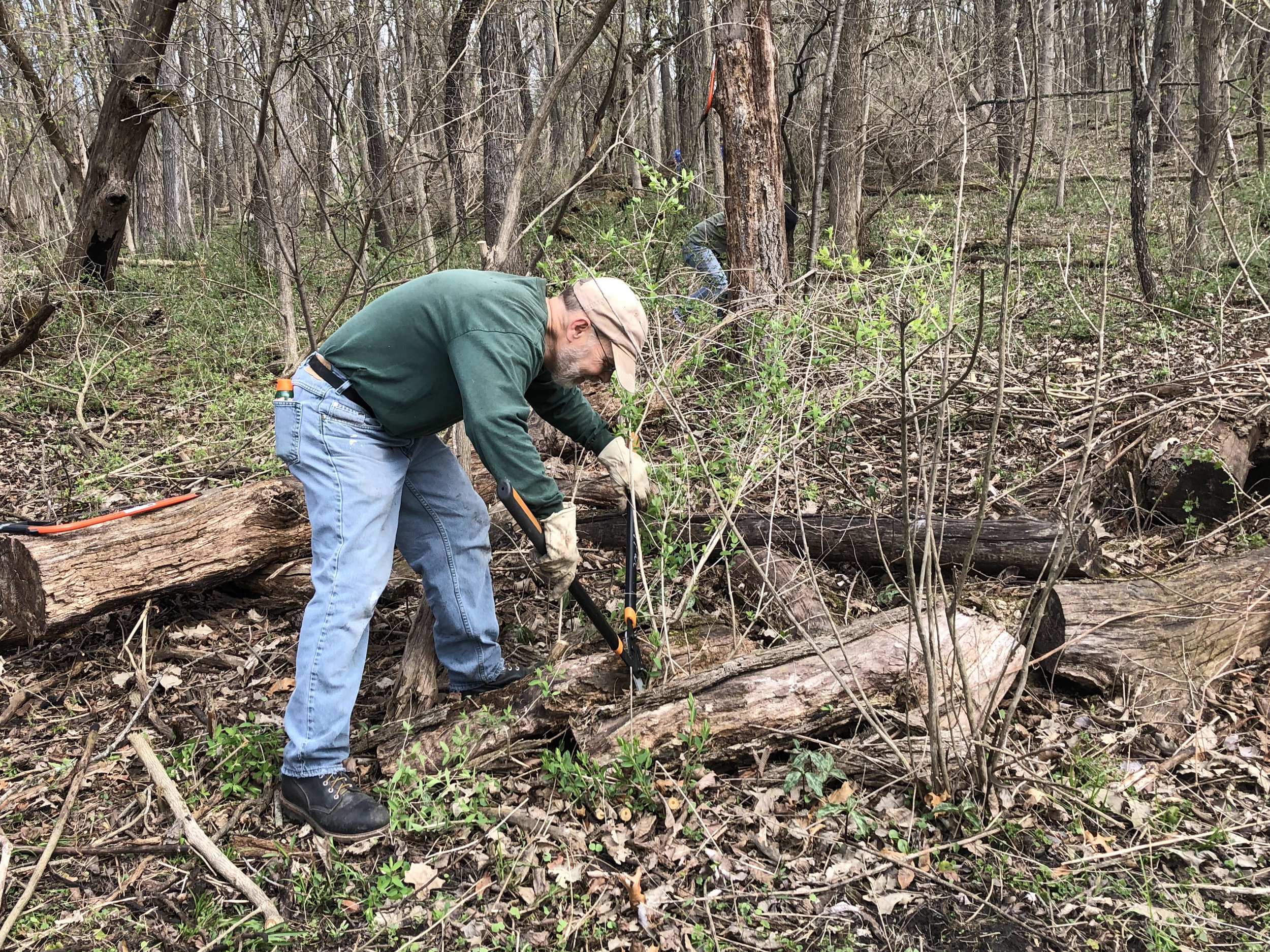A volunteer cutting honeysuckle with loppers