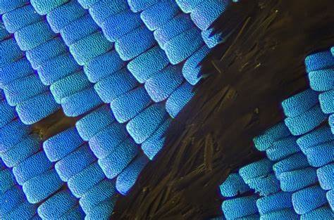 A close-up view of a Blue Morpho wing, taken by Flickr user Johan J. Ingles-Le Nobel