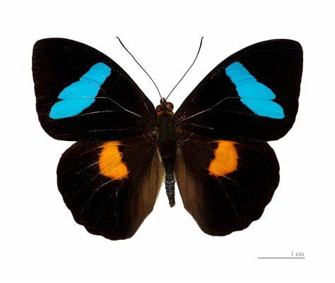 An Obrina olivewing