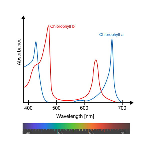 This graphic shows that the two chlorophyll pigments absorb red and blue, but not green.