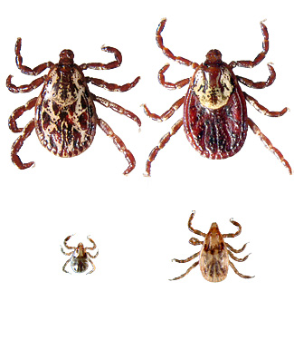 American Dog Tick (Male upper left, female upper right, nymph lower right, larva lower left)