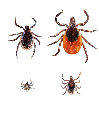 Deer Tick (Male upper left, female upper right, nymph lower right, larva lower left)