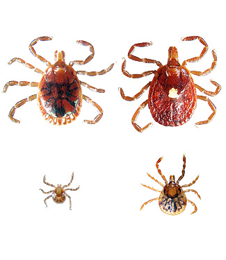 Lone Star Tick (Male upper left, female upper right, nymph lower right, larva lower left)