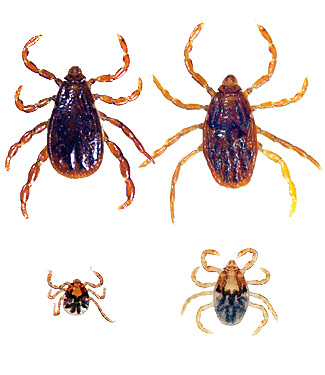 Brown Dog Tick (Male upper left, female upper right, nymph lower right, larva lower left)