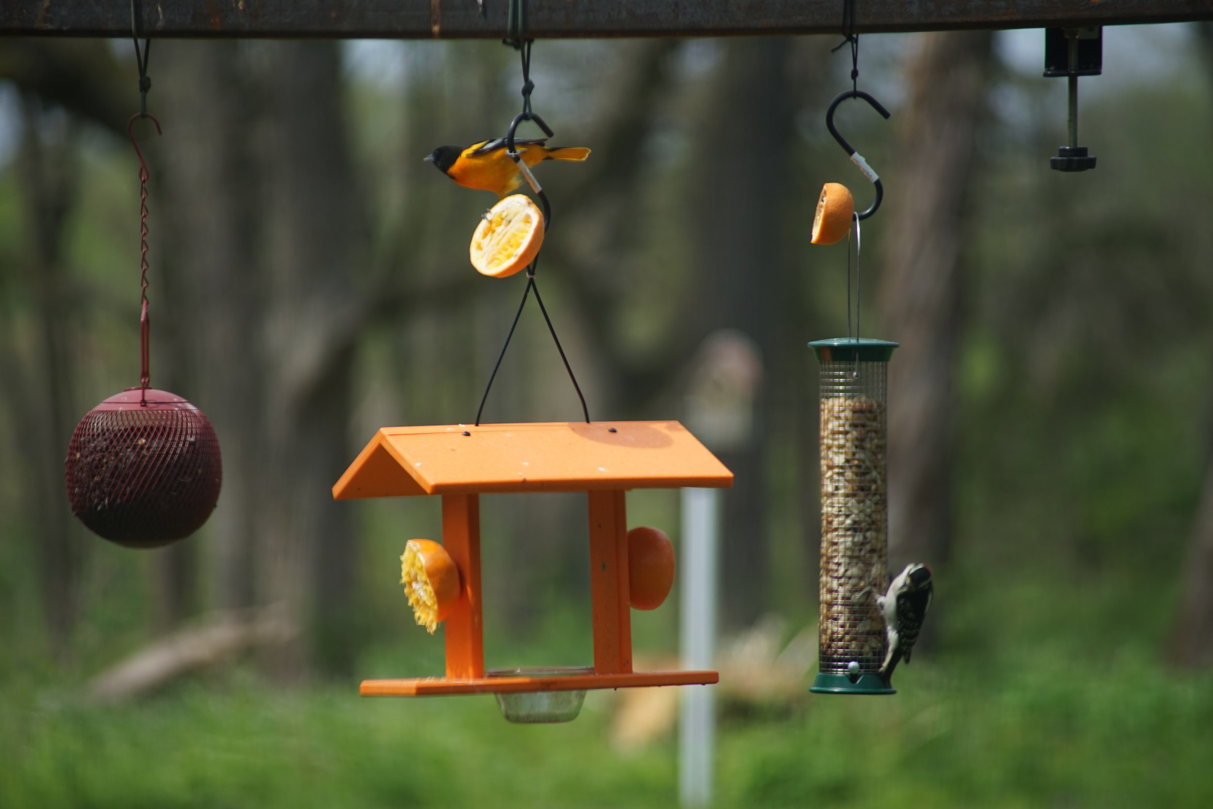 A Baltimore oriole visits the bird feeders at Severson Dells.