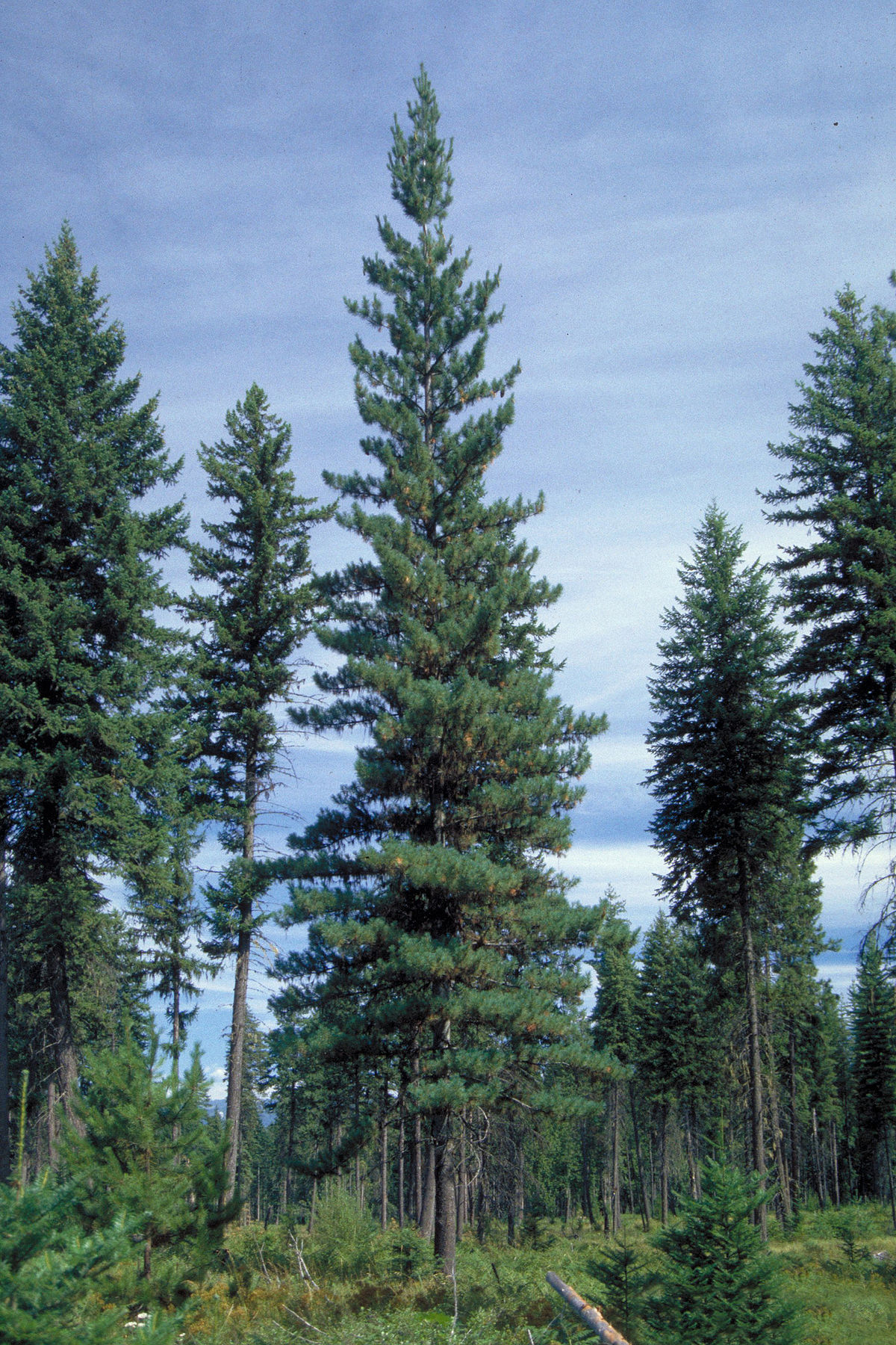 White Pine trees, otherwise known as Pinus strobus