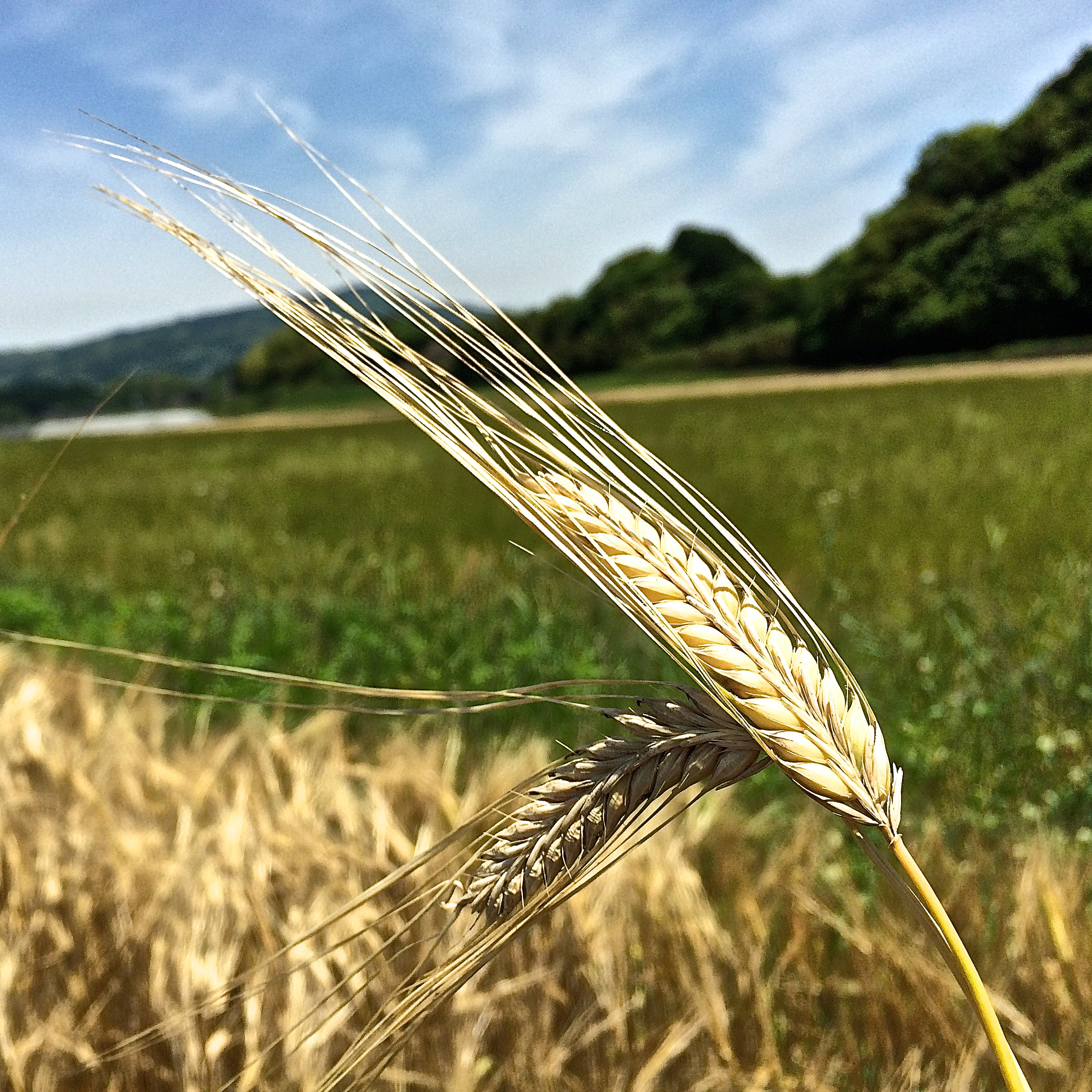 Two-rowed barley at the time of harvest in Saga, Japan.
