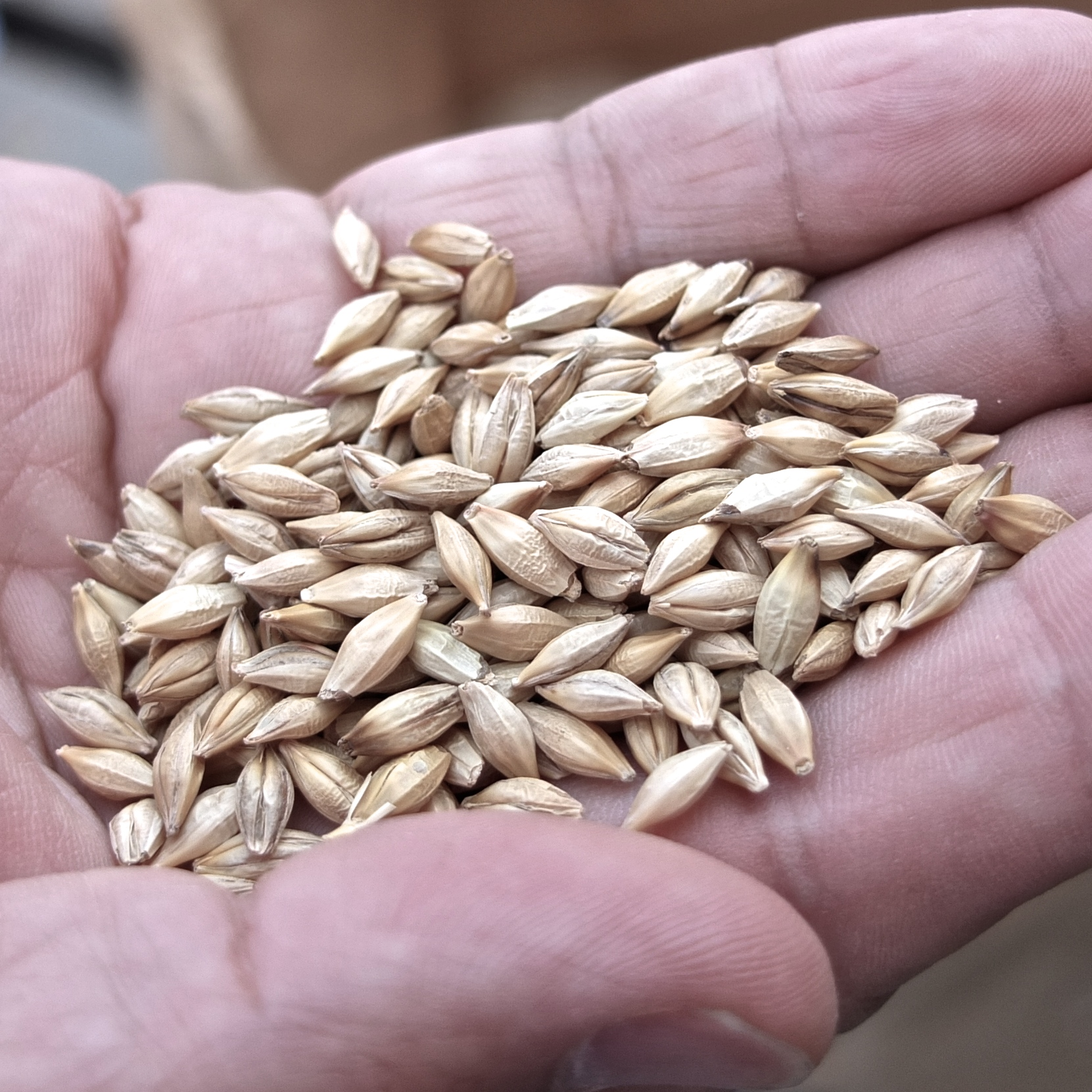 Locally farmed, two-rowed barley ('kirameki' nijo mugi) of Saga Prefecture, harvested each May.