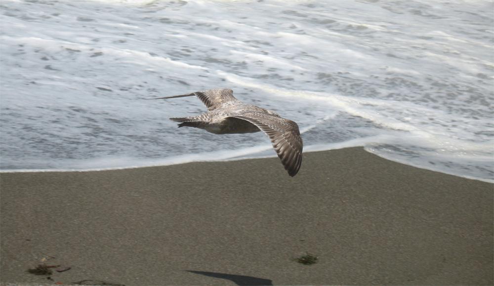 seagull at sonoma coast state beach, bodega dunes