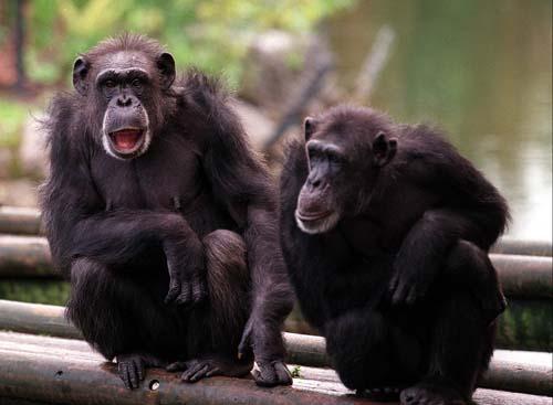 chimpanzee 2a.jpg