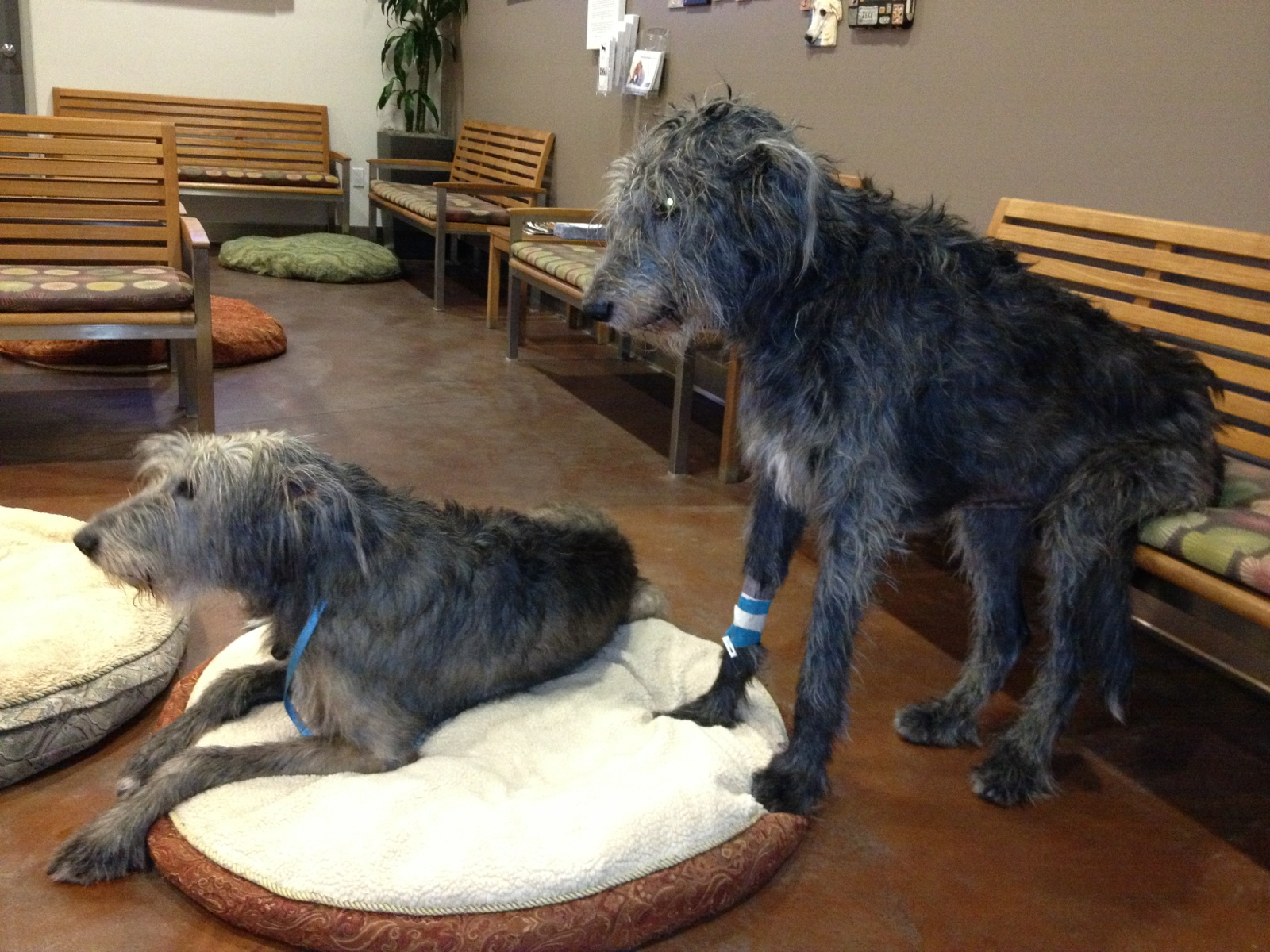 Here are the lads in a veterinary hospital, Angus caught pneumonia in the last year of his life and required a big medical intervention. And a big chair to sit on.