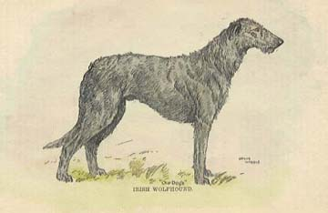 1912 engraving of an Irish Wolfhound