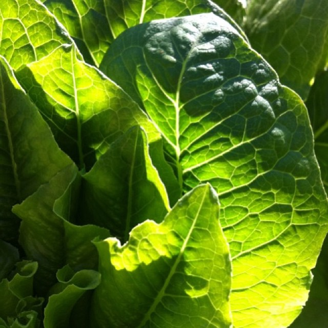 Salad in your garden, Mrs Cos #gardenart #gardenfun #gardenlovers #ediblegardens #hesketgarden