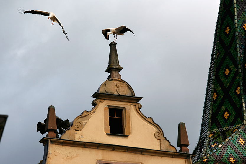 Cigognes à Turckheim
