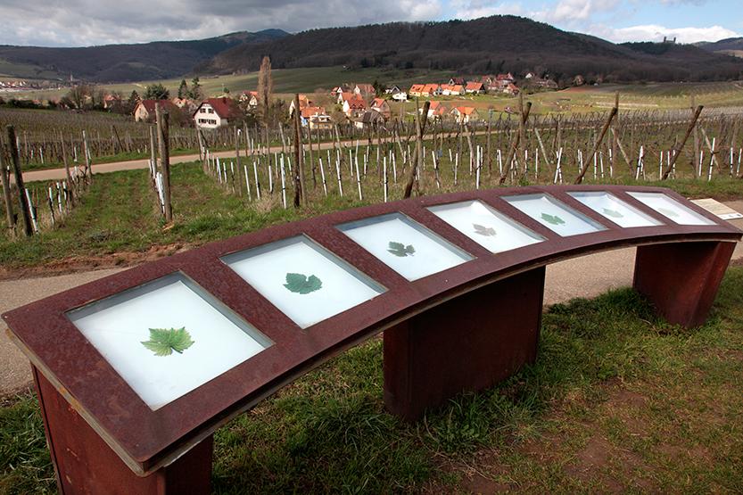 Table d'orientation des cépages à Mittelbergheim