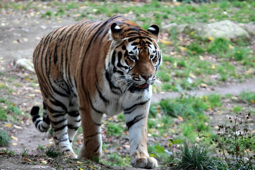 Tigre de Sibérie (ou d'Amour) au Zoo de Mulhouse