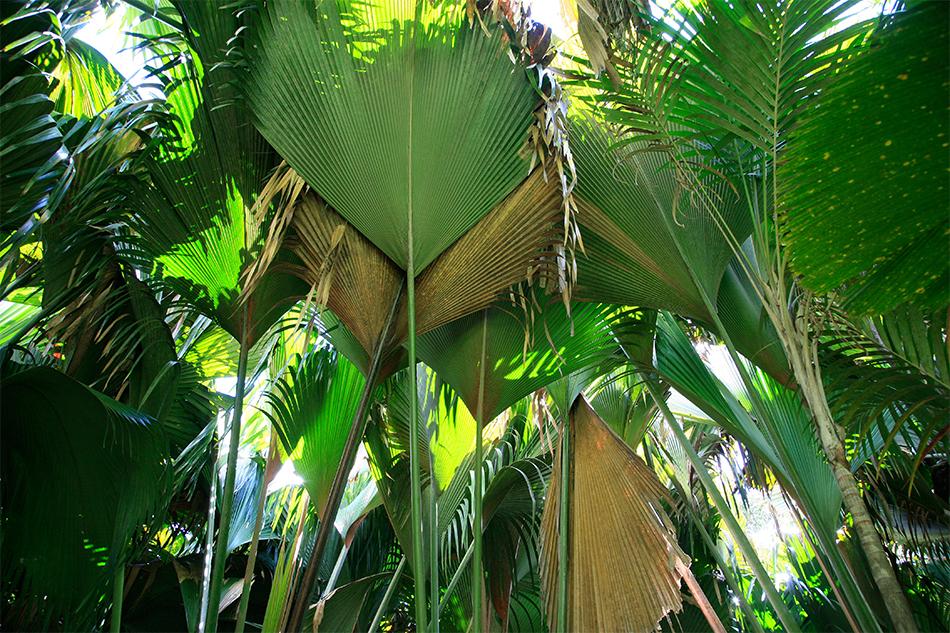 Palmiers et lataniers, Vallée de Mai, Praslin, Seychelles