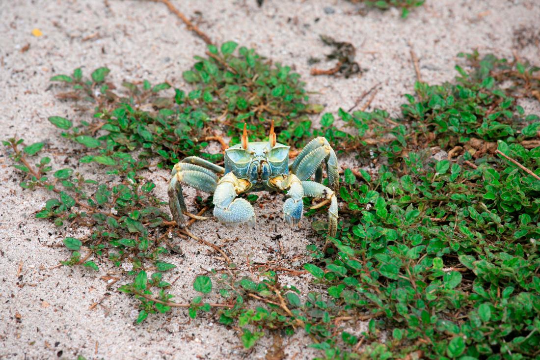 ... et  une crabe fantôme