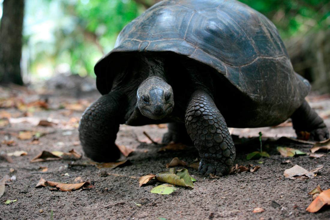et les gentes tortues d'Aldabra