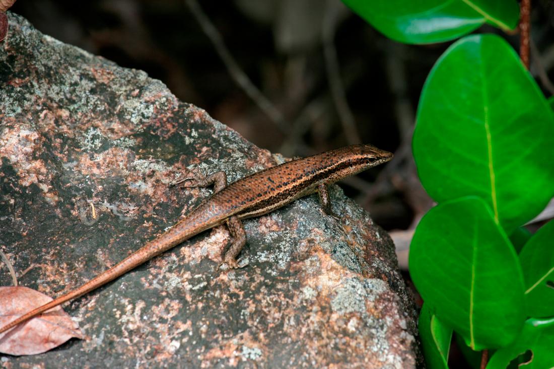 Gecko bronze sur Curieuse