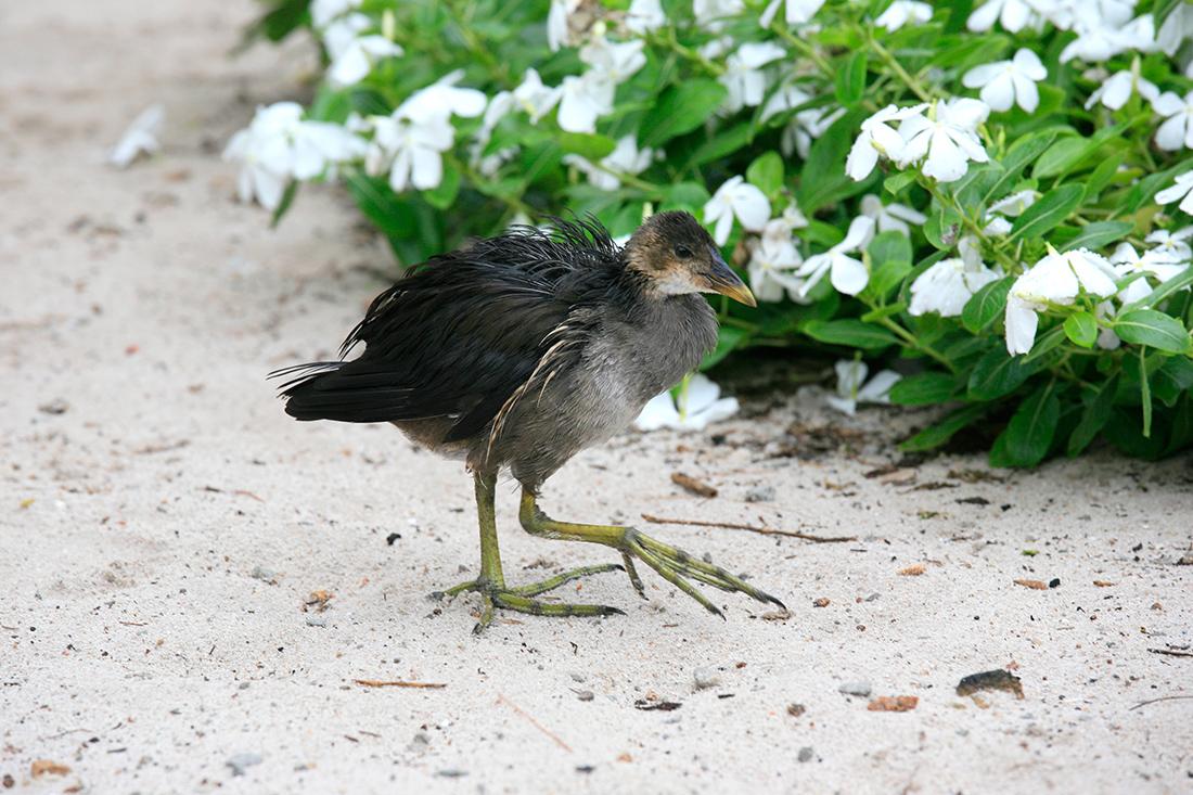 Première rencontre sur l'île Aride, une poule d'eau !