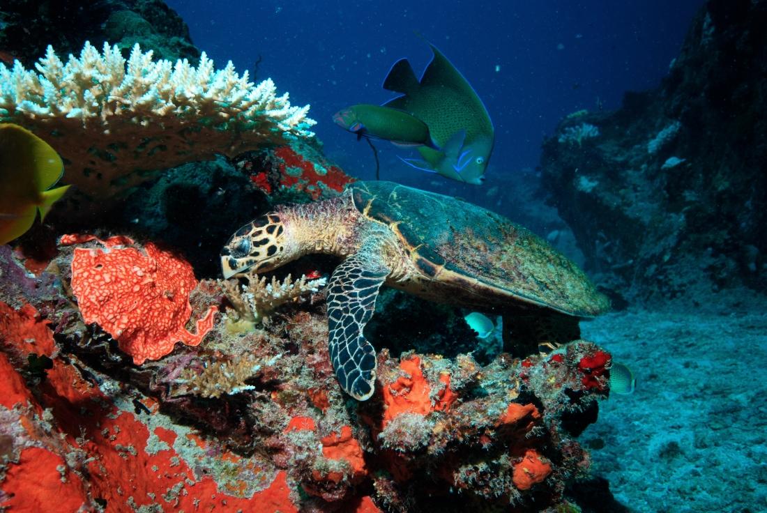 et coralienes...