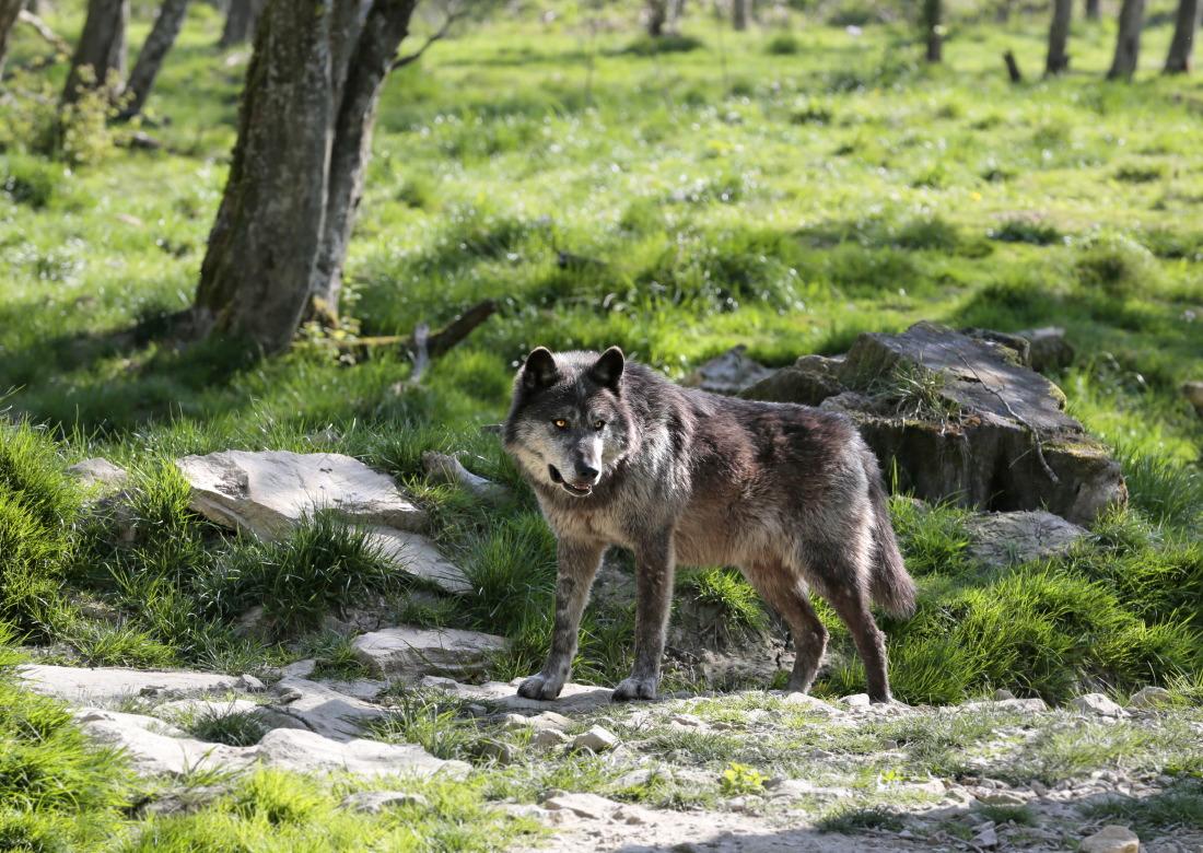 Loup noir Timberwolf (USA)