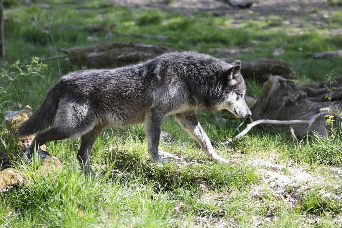 Loup noir Timberwolf du parc animalier de Sainte-Croix