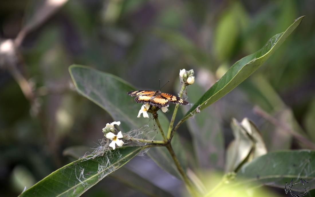 GMB.Butterfly_JJS4937.JPG