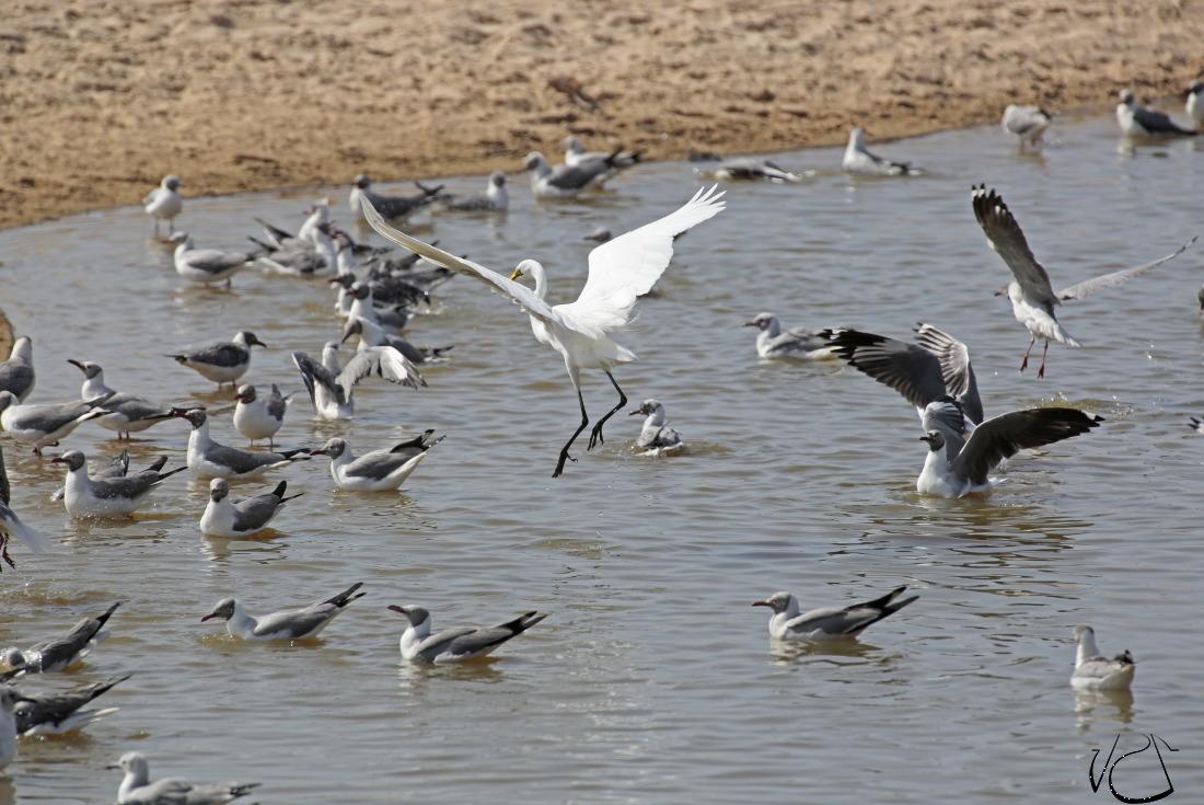 GMB.Egret.Seagulls_JJS6076.JPG