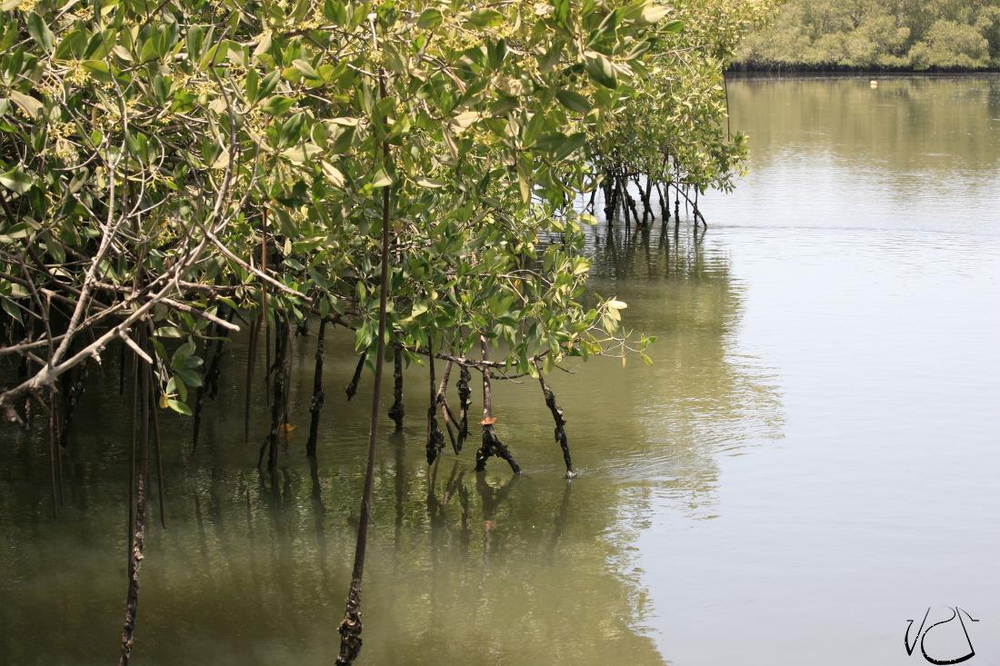 La magie des mangroves
