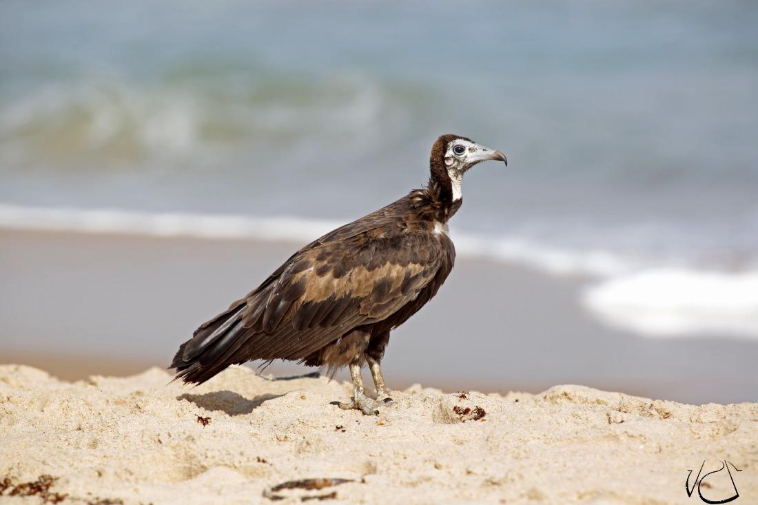 Des vautours à l'aube sur la plage