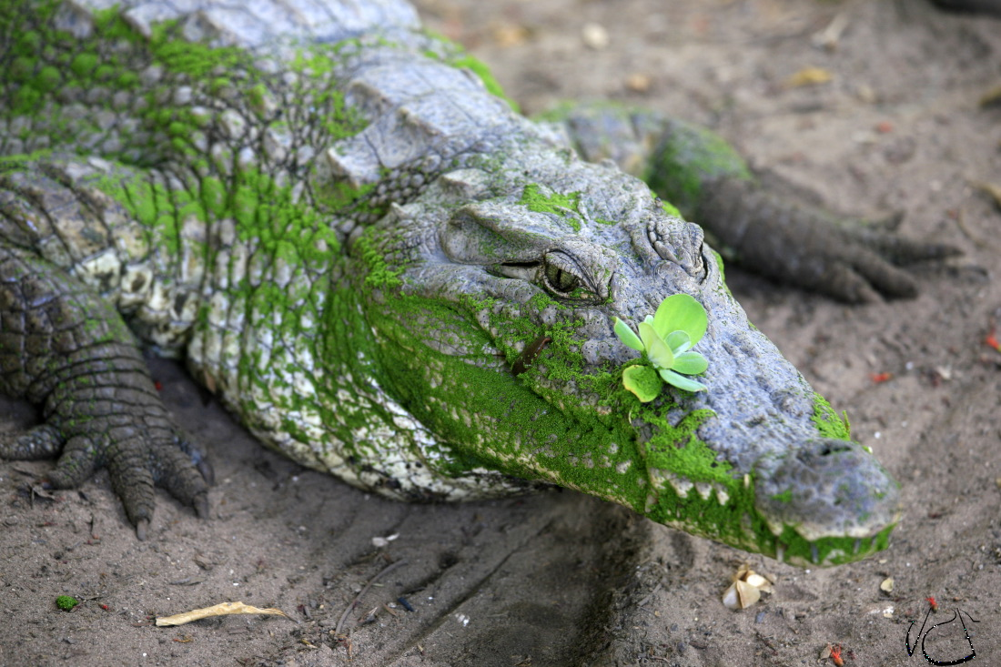 Kachikally Crocodile
