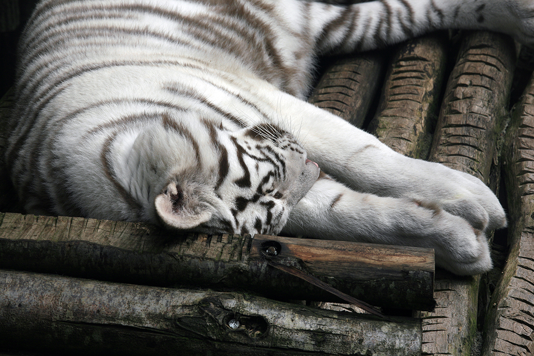 Tigre de Sibérie, Pairi Daiza
