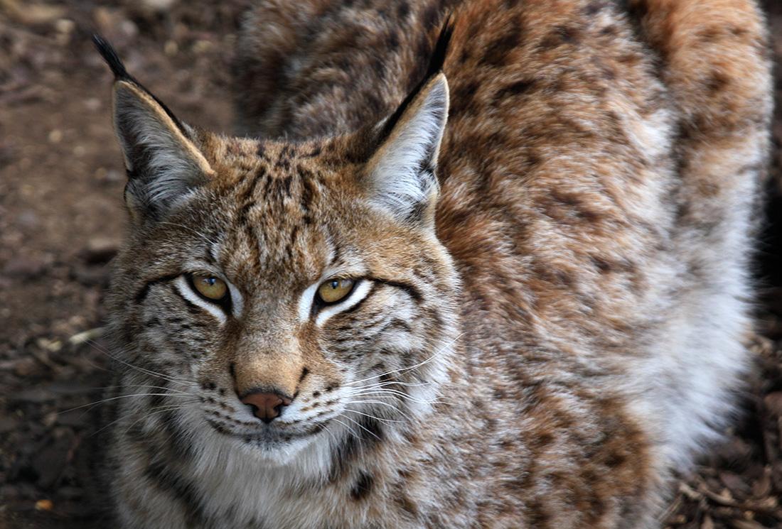 Lynx au parc Forestia