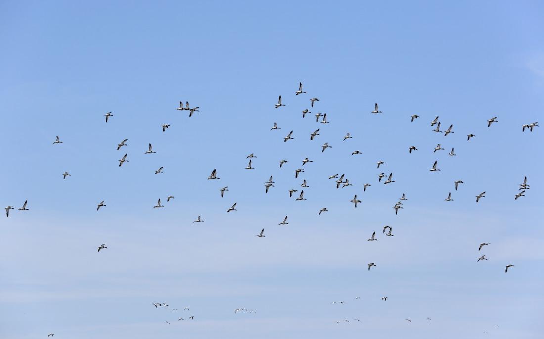 Des nuées d'oiseaux