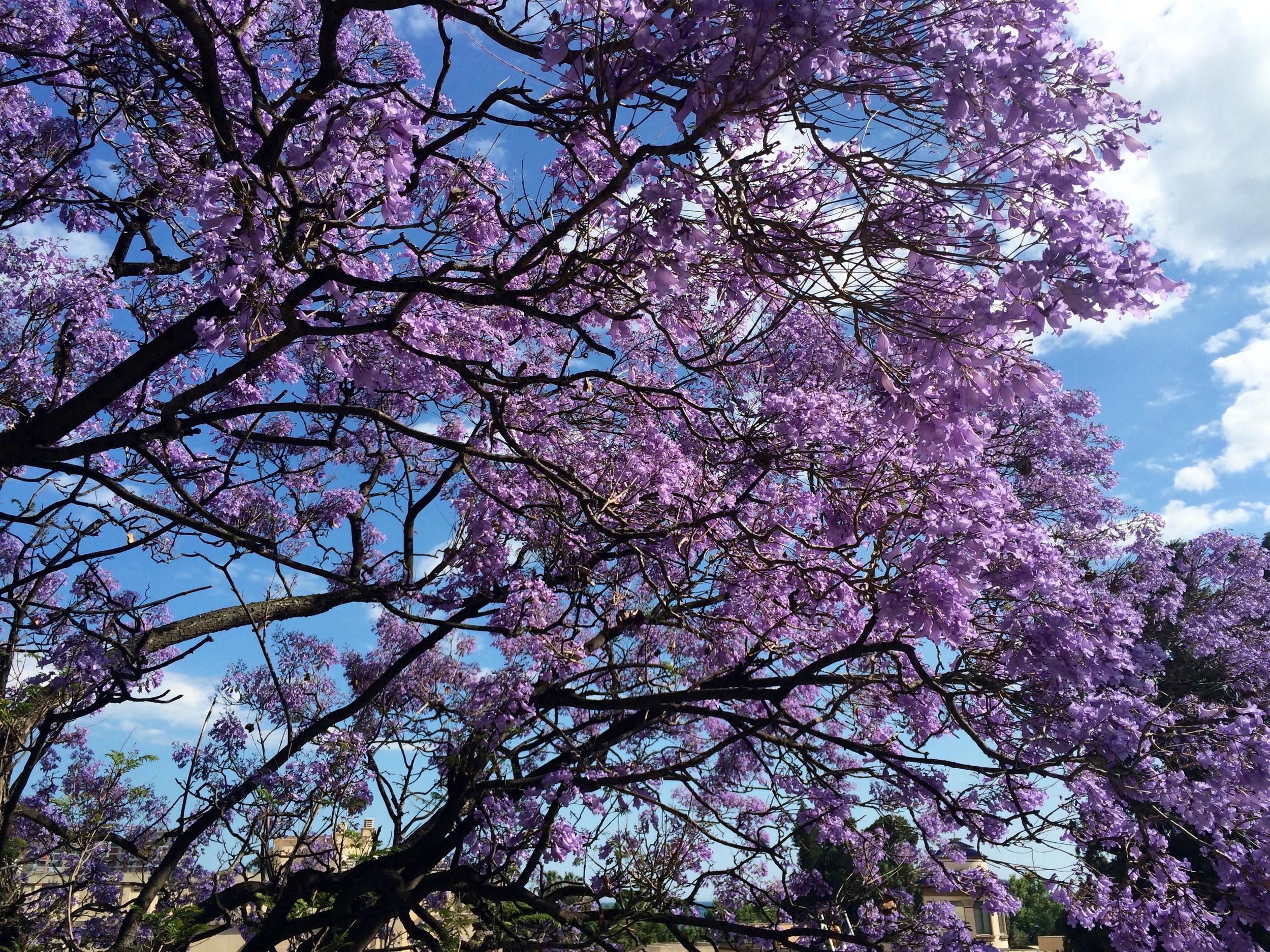 La féerie des Jacarandas en fleurs à Malaga