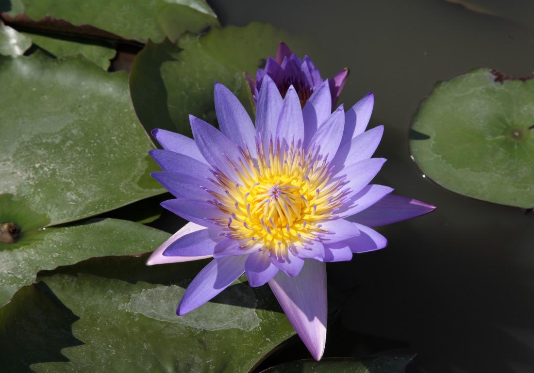 Lotus au bord du Mékong, HCMV