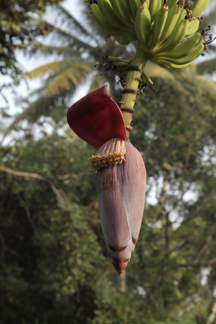 Bananiers sauvages et une multitude d'autres fruits poussent sur les terres du delta