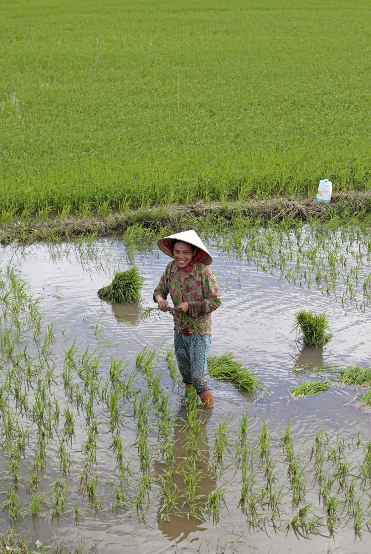 Non loin de Sadec, maman repique le riz