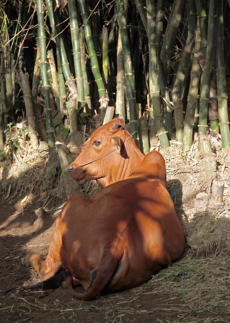La vache sous les bambous