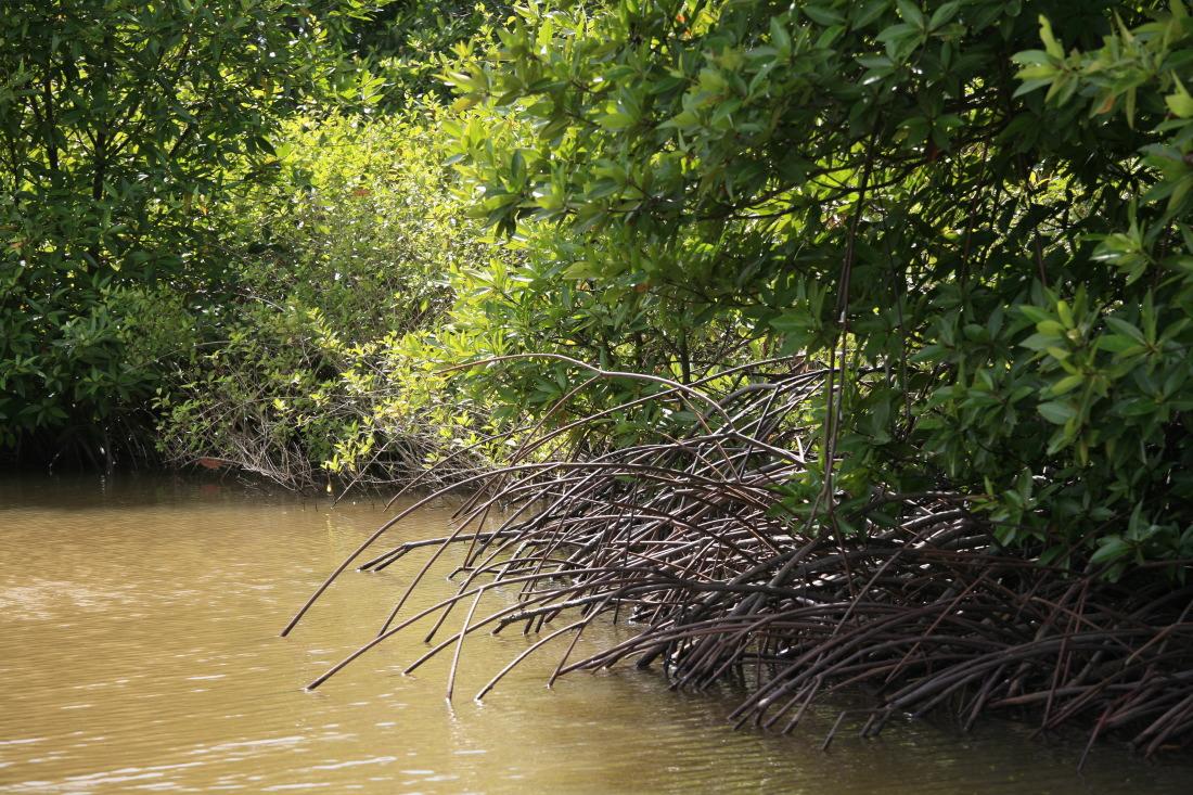 Mangroves autour de Badong