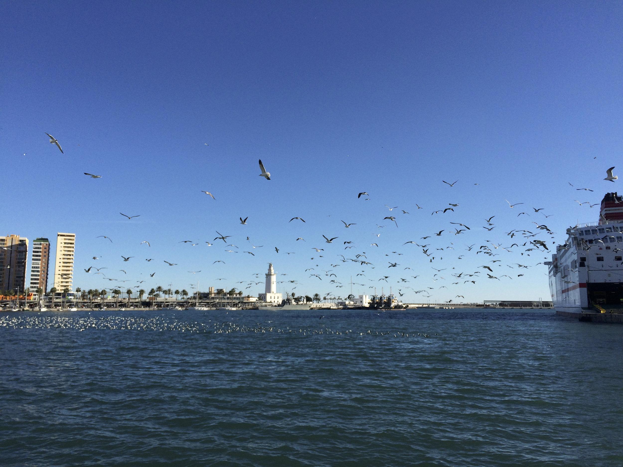 Baignade des mouettes et goélands dans le port de Malaga