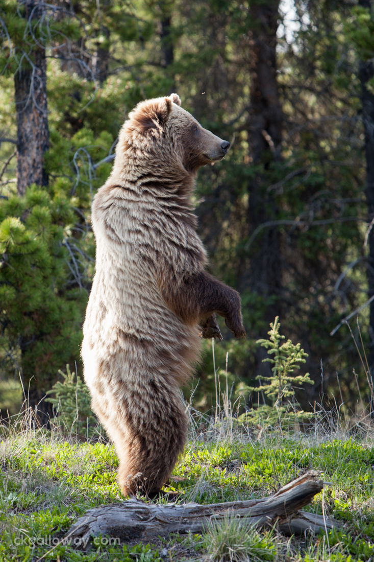 A grizzly (brown) bear rears up on her hind legs for a better vantage point.  Photo by Christa Galloway.