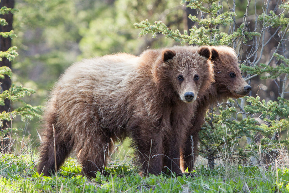 The grizzly cubs soon perk up and join their mother.  Photo by Christa Galloway.