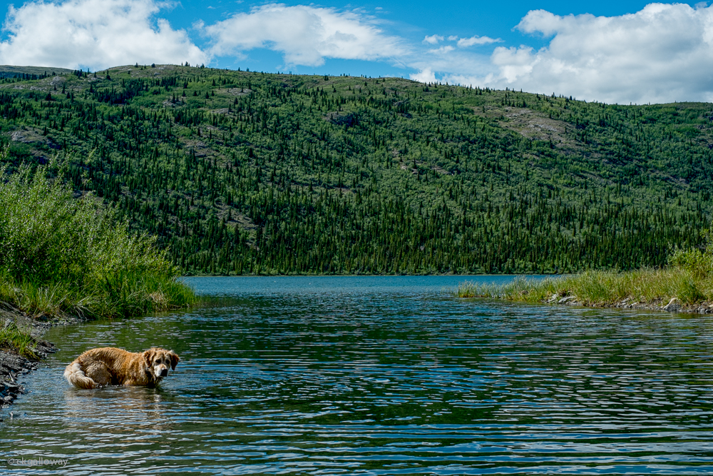 Maggie enjoying Aishihik Lake.  Photo by Christa Galloway.