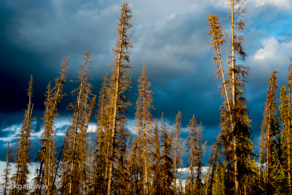 The evening sun on some trees (Pine trees, I would guess?) at Pine Lake, Yukon.