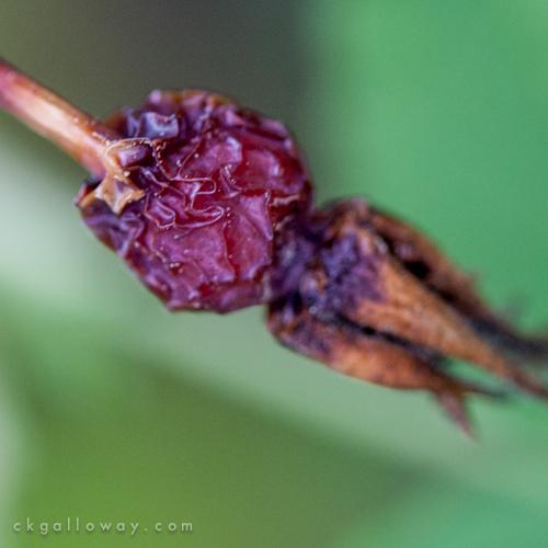 ckgalloway-macro-flora-yukon-6789.jpg