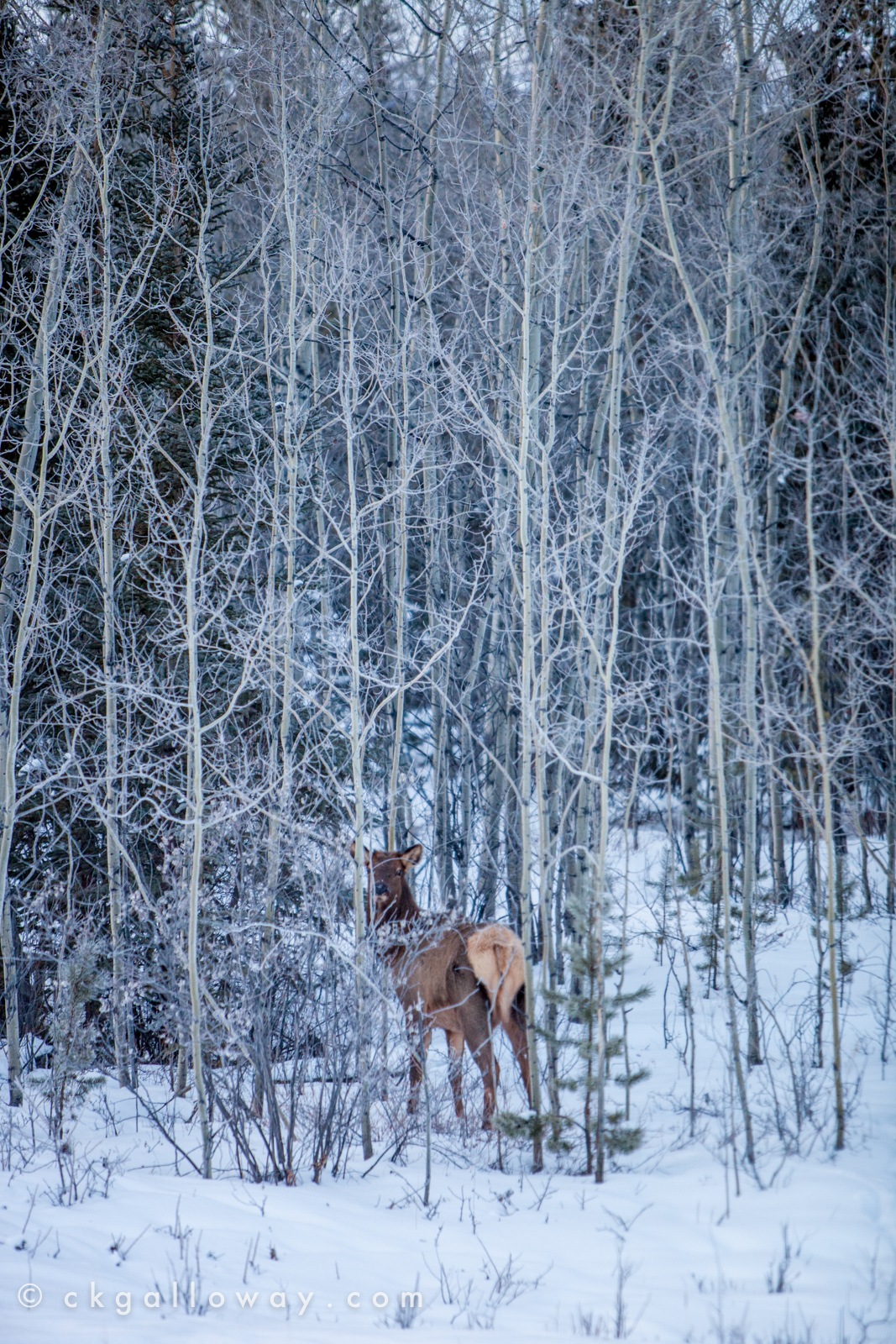 An elk just off the Alaska Highway west of Whitehorse. Photo by Christa Galloway.